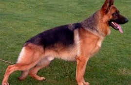 Get German Shepherds That Blend Best With Your Family Members